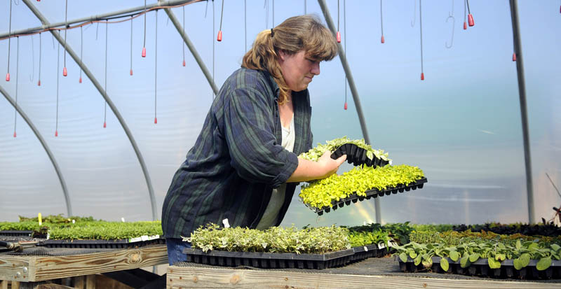 Baby herbs: Wendy Elvin transfers herb seedlings in the greenhouse at her family's Readfield farm. Her father, Elmer, said plants cultivated in the greenhouse are safe, but produce raised outside still risks being killed by frost — despite unseasonably mild temperatures this week.