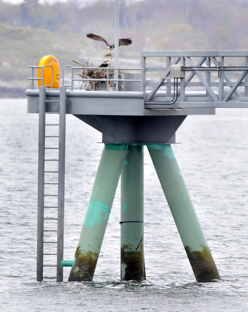 "Two ospreys have taken up residence at the end of the Ocean Gateway Pier II, working together this week to construct a nest atop part of the ""megaberth"" that was completed last September. ""We need to figure out how to deal with it as soon as possible,"" says Bob Leeman, the city's port manager."