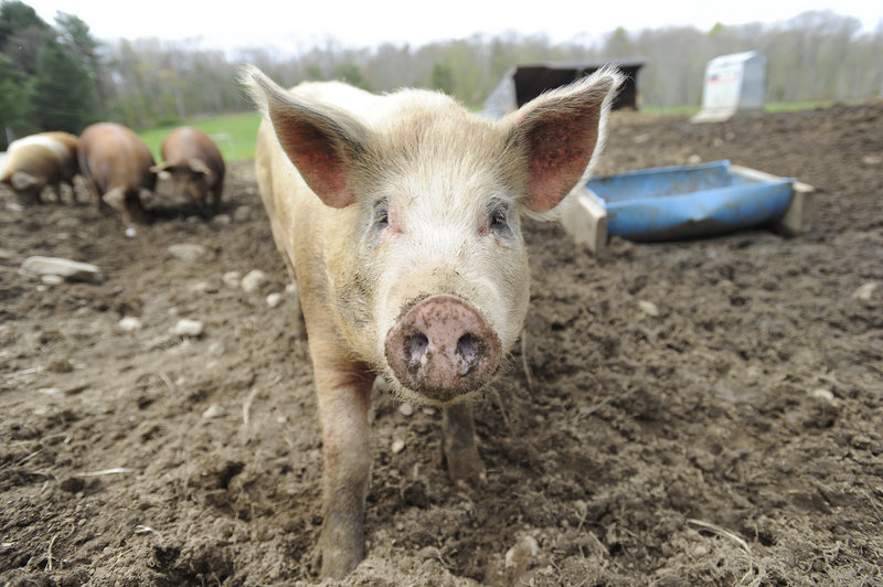 Pork is among the meats that will be offered through the CSA being launched by Dandelion Springs Farm and Straw Farm in Newcastle.