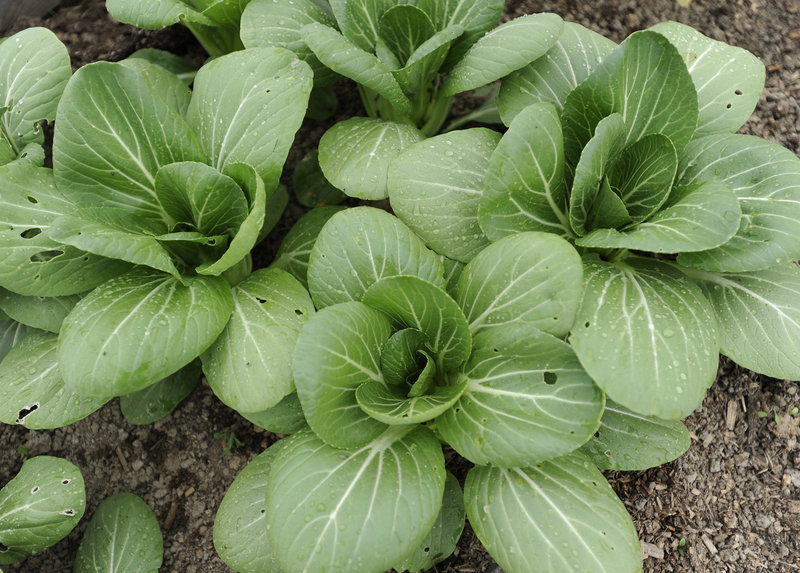 Pak choi is among the vegetables that will be offered through the CSA being launched by Dandelion Springs Farm and Straw Farm in Newcastle.