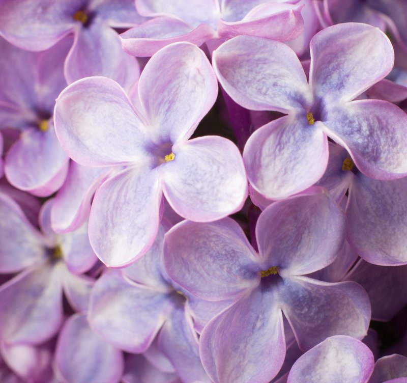 The McLaughlin Garden in South Paris is holding its annual Lilac Festival next weekend.