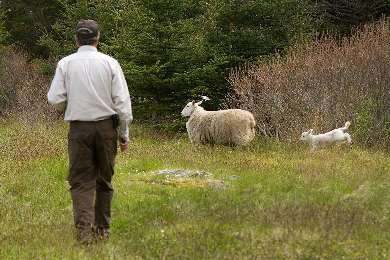 Brian Benedict watches as stray sheep prance while coming out of the woods during the effort to move the sheep from one part of Metinic Island to another.