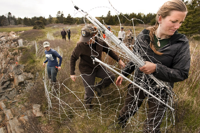 Chelsea Vosburgh, a seabird researcher for the Maine Coastal Island's National Wildlife Refuge, works with others to set up a barrier intended to keep sheep away from the sites used by nesting seabirds on Metinic Island.
