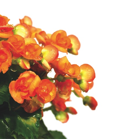 Annuals like begonias provide great color.