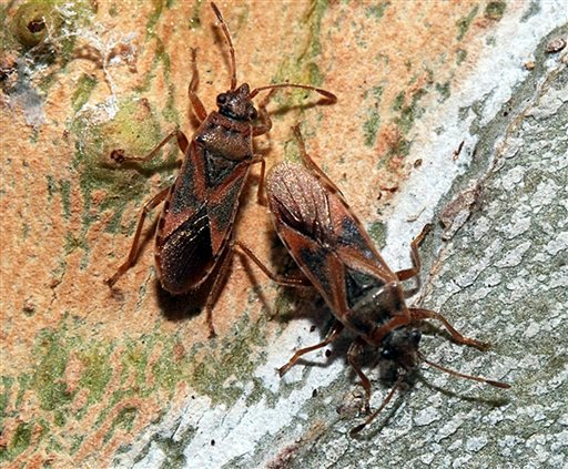 Two Elm Seed Bugs are seen in this undated handout photo provided by the Idaho State Department of Agriculture.