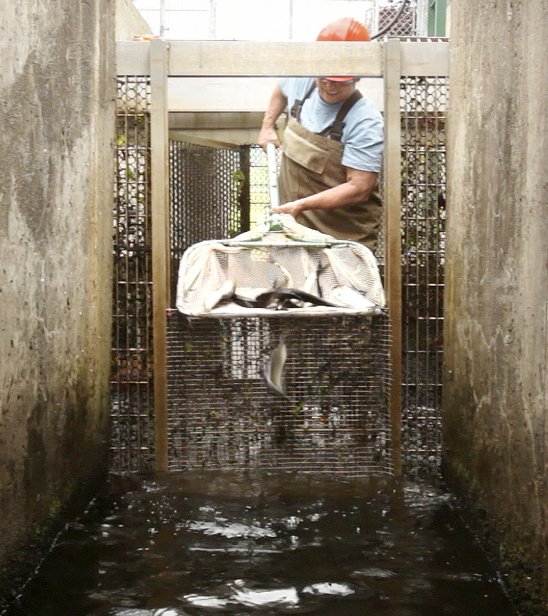 """Lee Sochasky works with alewives at the Milltown Dam fishway in New Brunswick, Canada, last month. The International Joint Commission has put forward an """"adaptive management plan"""" that may offer a compromise in the fight to open up the St. Croix River watershed to the fish."""