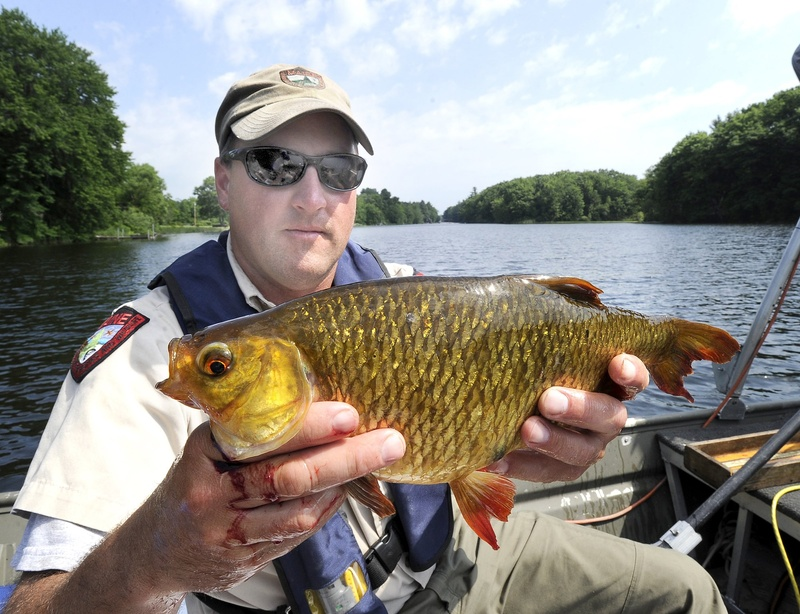 Fisheries specialist Scott Davis holds a large rudd, an invasive fish he caught June 21 in Cobbosseecontee Lake in Winthrop.