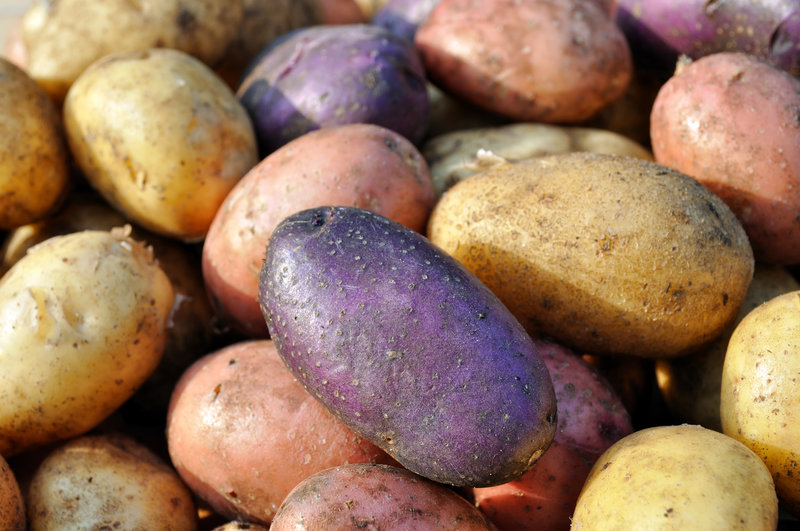 The United States Potato Genebank has thousands of potato varieties from all over the world. Researchers there work to make potatoes more frost- and pest-resistant.