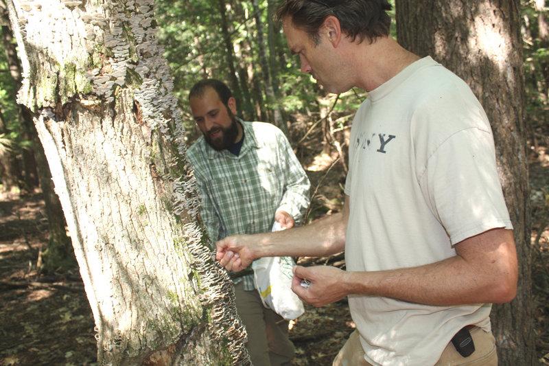Mushroom expert Dan Agro, of AgroMyco, left, and Nathan Burrill harvest turkey tails on Burrill's land in Windham.