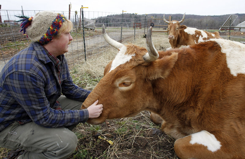 Michael Sharry visits with Bill, front, and Lou on Thursday at Green Mountain College in Poultney, Vt. The college has decided to slaughter the two retired oxen and serve the meat in the dining halls as a matter of sustainable agriculture.