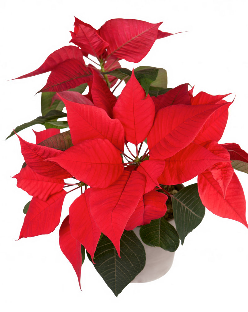 Seasonal flora will be much in evidence in the week ahead, what with Saturday's Poinsettia Ball in Ellsworth and holiday fairs from border to border.