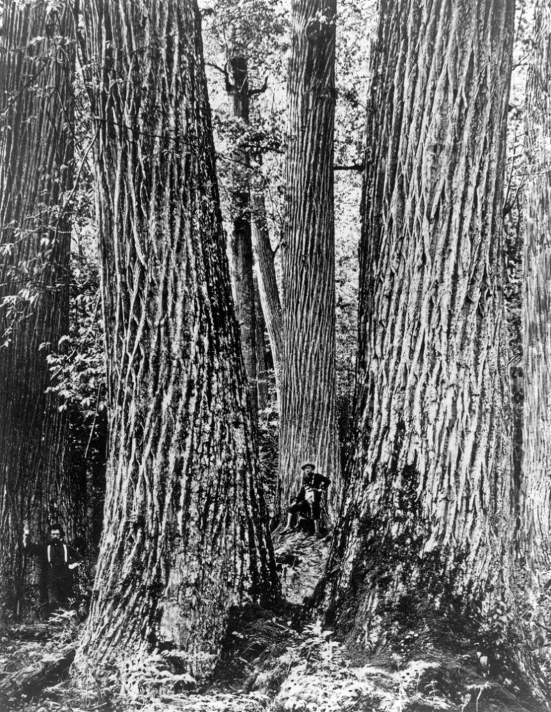 """This circa 1910 image shows woodsmen with American chestnut trees near what is now the Joyce Kilmer Memorial Forest outside the Great Smoky Mountains National Park in North Carolina. The """"redwood of the East"""" grew from Georgia to Maine."""