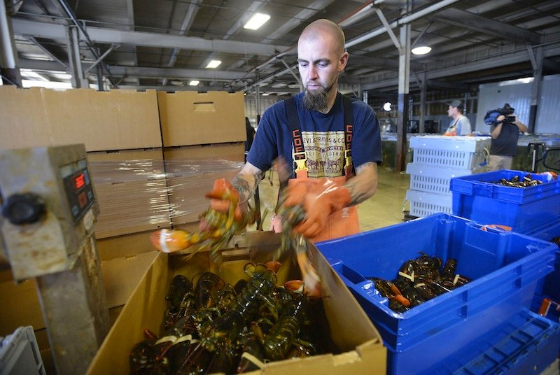 Justin Sylvester packs lobsters at Ready Seafood in Portland Monday, September 10, 2012. More than 123 million pounds of lobsters were caught in 2012, but the value decreased amid a glut of soft-shelled lobster.
