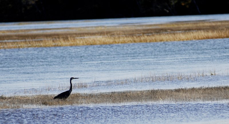A rich diversity of half-hardy species, such as this great blue heron, was noted in this year's bird count.