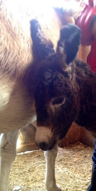 A foal born Dec. 25 at the Animal Rescue Unit in Bridgton is named Dominic after a donkey in an Italian Christmas carol.