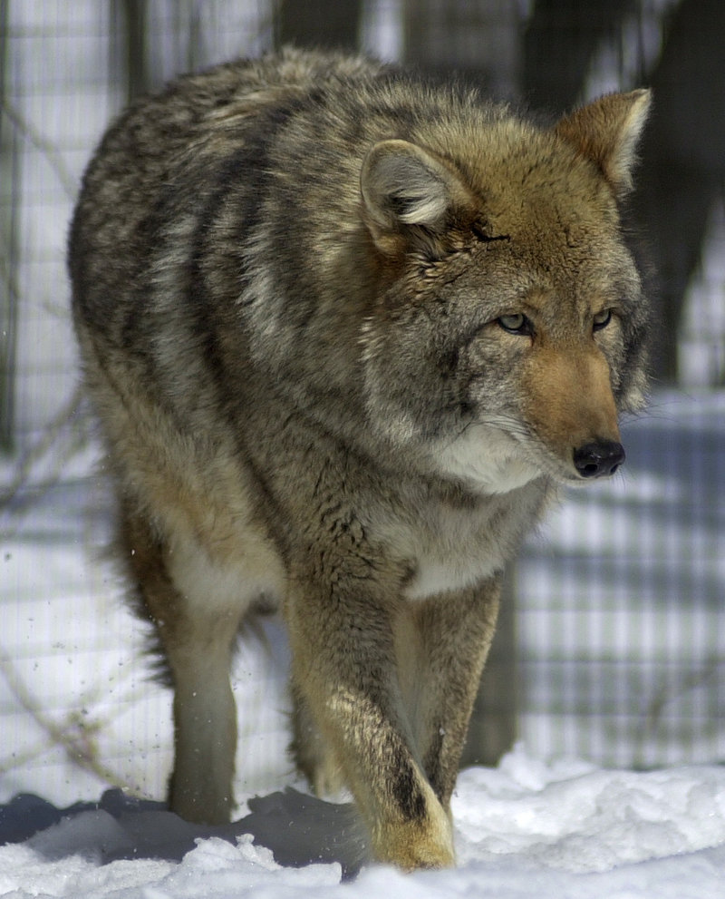 Coyotes are found throughout Maine, and a family of them has made its home in Biddeford.