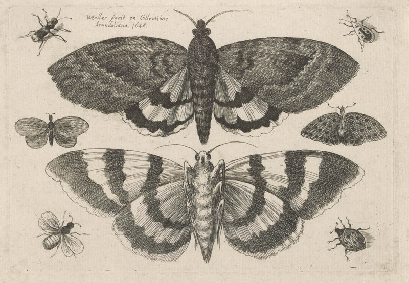 """""""Two Moths and Six Insects, from Muscarum, Scarabeorum,"""" by Wenceslaus Hollar, Bohemian, 1646 etching."""