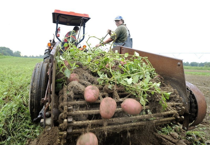 John and Ramona Snell of Snell Family Farm in Buxton harvest red potatoes last summer. Getting more Maine-grown vegetables onto local dinner plates is a goal of the Maine Food Strategy.