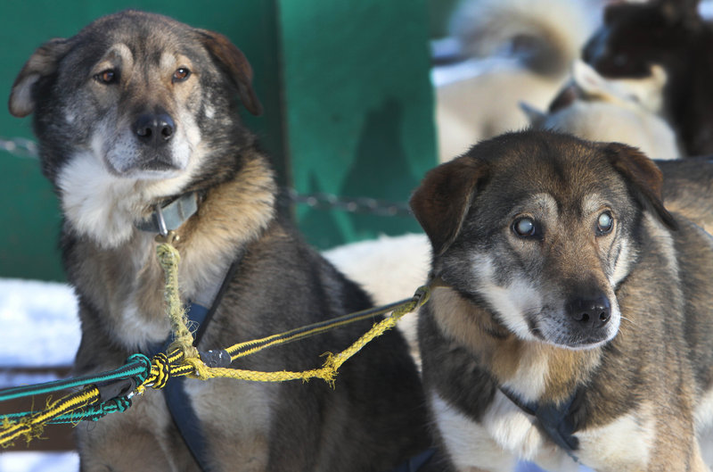 Despite the loss of his sight, Gonzo, right, remains an active member of Muddy Paw Sled Dog Kennel in New Hampshire, pulling sleds alongside his brother, Poncho.