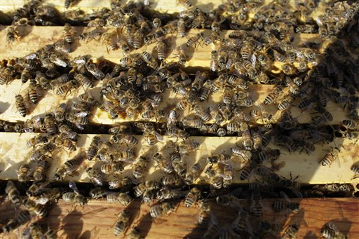 Honeybees cluster on top of the frames of an opened hive in an almond orchard near Turlock, Calif. Bee brokers, beekeepers and almond growers around the state say there is a shortage of healthy bees for this year's almond pollination, which starts mid-February.