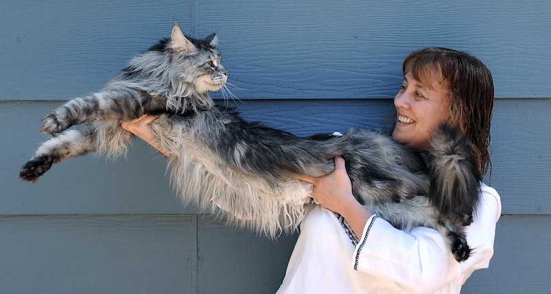In this file photo taken July 1, 2009, Robin Henderson stretches out her Maine Coon cat Stewie outside of her home in Reno, Nev. The Reno owner of the longest domestic cat in the world says Stewie died Monday, Feb. 4, 2013 after a yearlong battle with cancer. Guinness World Records declared Stewie the record-holder in August 2010, measuring 48.5 inches from the tip of his nose to the tip of his tail. (AP Photo/Reno Gazette-Journal, Andy Barron)