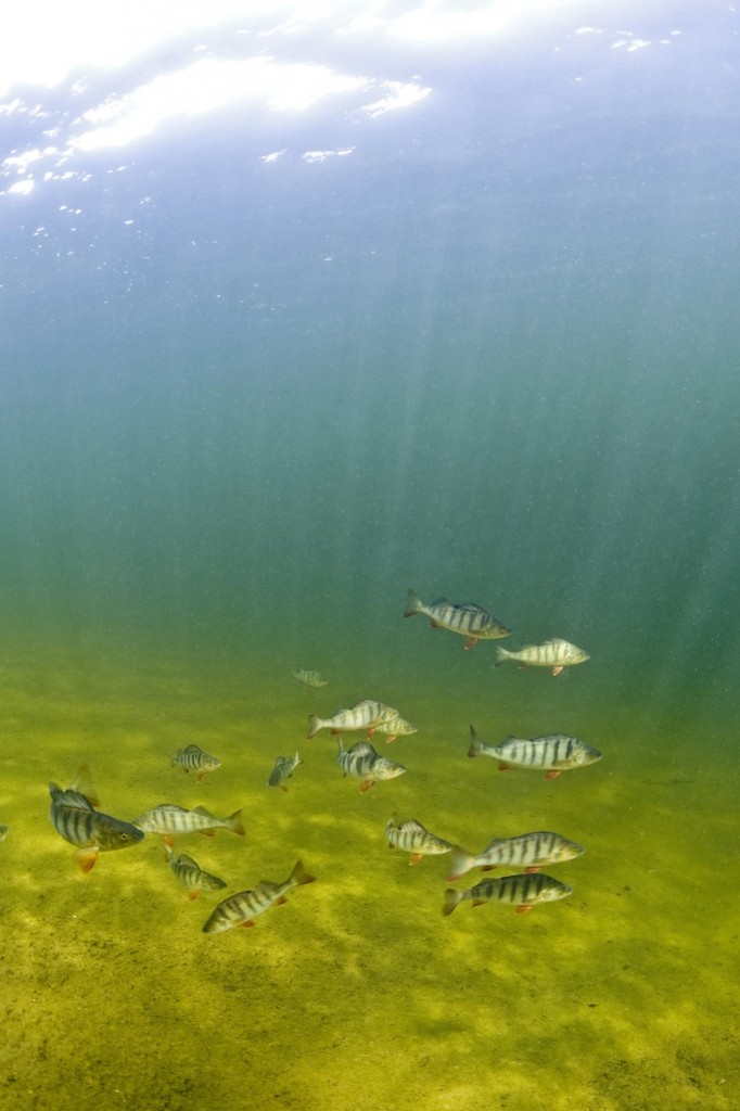 This circa 2009 photo provided by Bent Christensen show perch fish swimming together in Sweden. Researchers around the world have been taking a close look at the effects of pharmaceuticals in extremely low concentrations, measured in parts per billion. Such drugs have turned up in waterways in Europe, the U.S. and elsewhere over the past decade. (AP Photo/Bent Christensen)