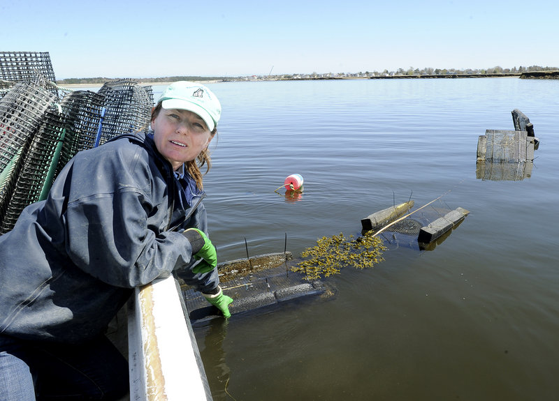Abigail Carroll of Nonesuch Oysters, shown in 2011 at an oyster farming site on the Scarborough River, wants to run a nursery for oysters off the pier at Pine Point Beach.