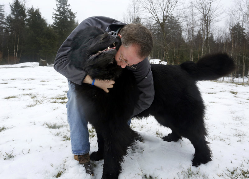 Quincy, a Newfoundland, receives a hug from owner Todd Bennett while playing at their Washington home. Quincy was ranked 12th in the country for his breed in 2012 and will be competing in the Westminster Kennel Club Dog Show.