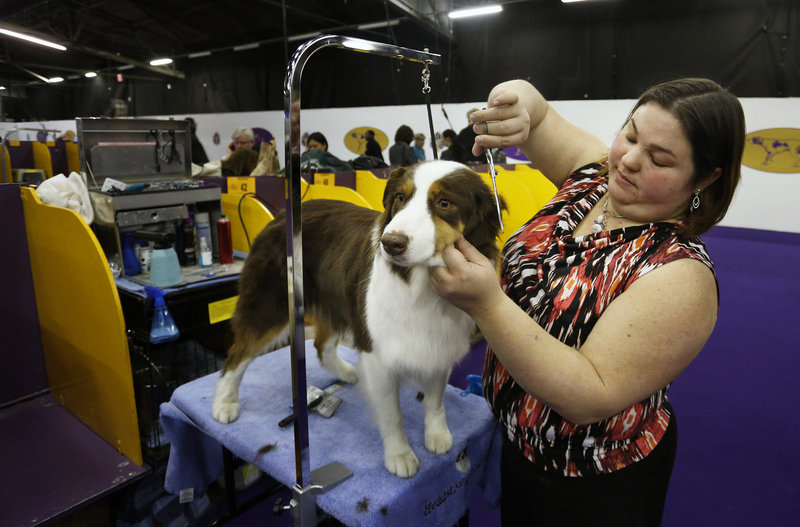 Fly, an Australian shepherd owned by Clara Gardner of Rockland, gets primped by handler Laura Liebenow Monday before being eliminated from the Best in Breed competition.