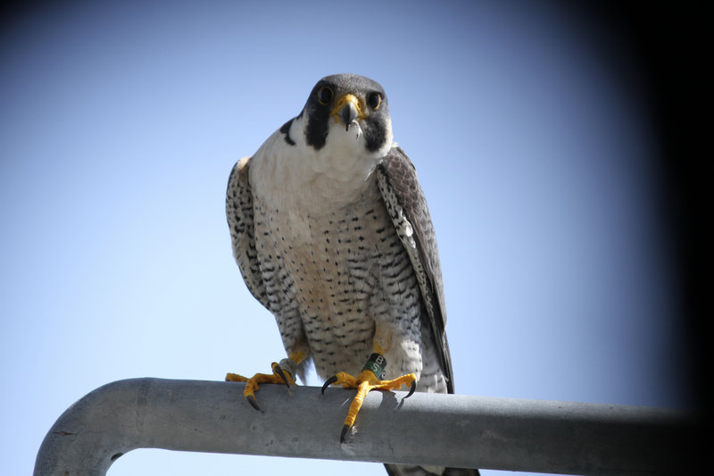 This male peregrine falcon is one of a nesting pair that returned to an undisclosed southern Maine site this year.