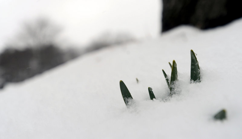 Snow buried sprouting daffodils at Laurel Hill Cemetery in Saco last week. An article lamenting that Maine hasn't seen an early spring this year shows