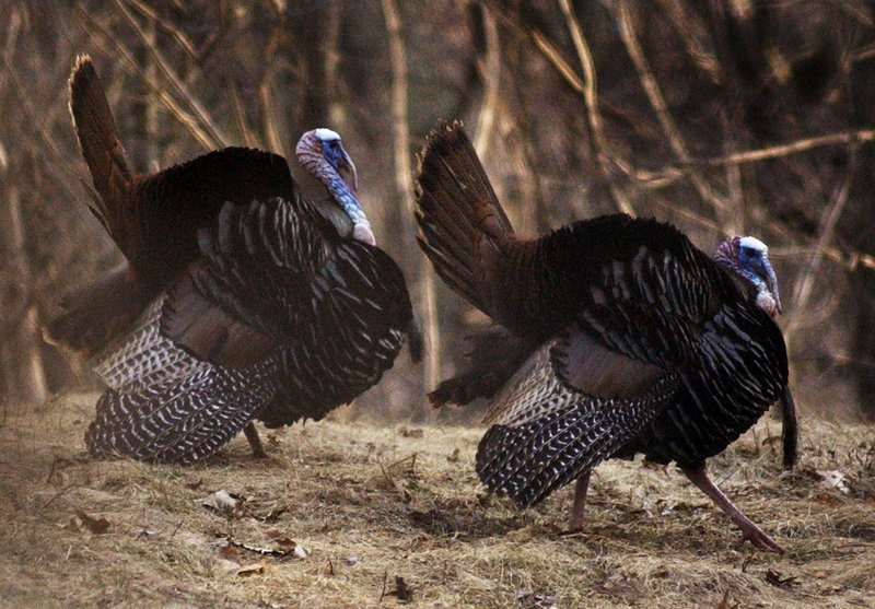 Many people think turkeys – like this pair of toms – manage to out-compete deer for food. It's not true, and states with high turkey densities also tend to have high deer densities.