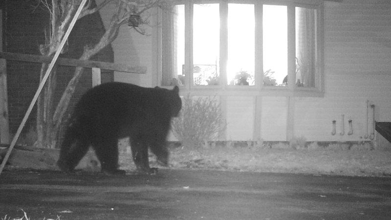 A bear wanders near a residence in Wayne. As mud season wears on, bears are ravenous.