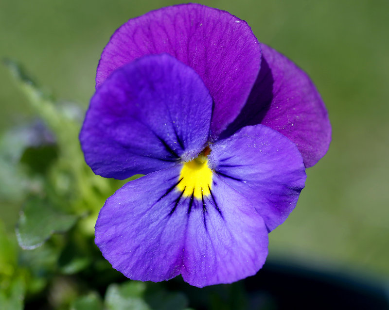 Pansies will be among the flowers and herbs at the Tate House Museum plant sale on May 18.
