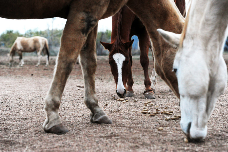 L.D. 1286 was drafted with help from Maine Friends of Animals, which estimates that 1,500 horses are shipped through Maine each year to slaughterhouses in Quebec.