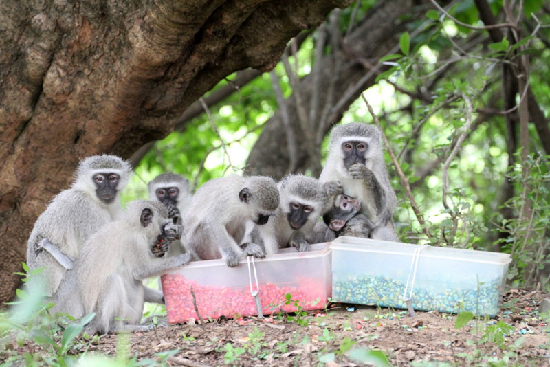 Monkeys feed on pink-dyed corn in South Africa. Some wild animals seem to follow the same monkey-see, monkey-do social conformity in the quest for food that people do.