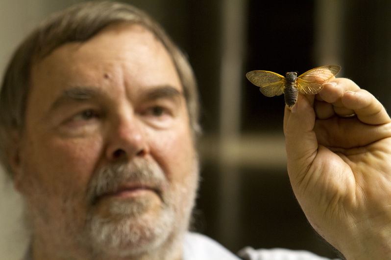 Gary Hevel, a research collaborator with the Department of Entomology at the National Museum of Natural History, holds up a preserved cicadas.