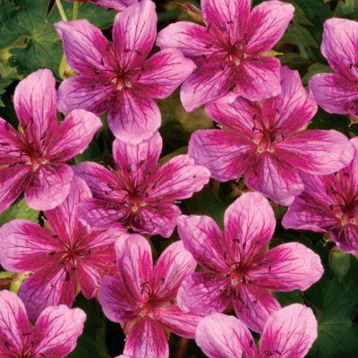 """""""Starman"""" was called the best perennial geranium by Fine Gardening."""