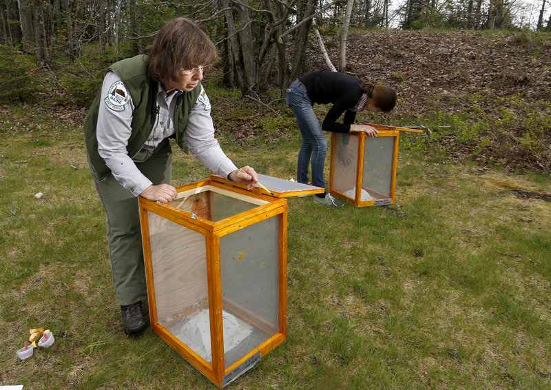 Charlene Donahue, a forest entomologist with the state of Maine, and ecology technician Natashia Manyak of the University of Massachusetts at Amherst released parasitic flies at Two Lights State Park in Cape Elizabeth on Thursday in an effort to help control the winter moth population and minimize its damage to trees and shrubs.