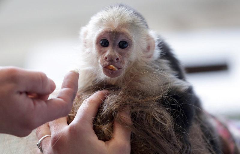 Mally is a capuchin monkey.