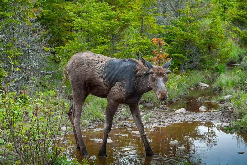 Young moose like this one molting at a water hole near Lily Bay Road can be a common sight if you know where to look, and even if you don't you can always seek the expertise of a guide.