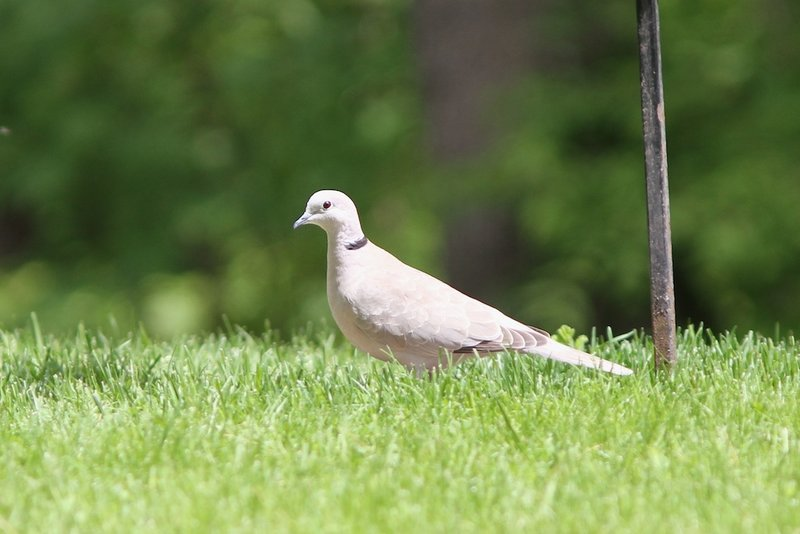 A distinct black band, edged with white, reveals this handsome bird in Doug Hitchcox's Falmouth yard to be the first Eurasian collared dove reported in Maine.