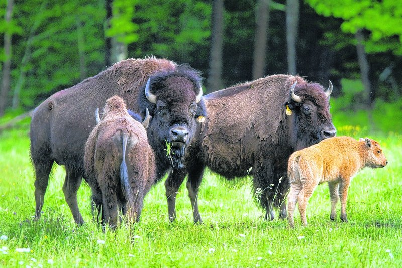 Bison graze in the field behind the century-old barn in Berwick that in 1972 became the Hackmatack Playhouse.