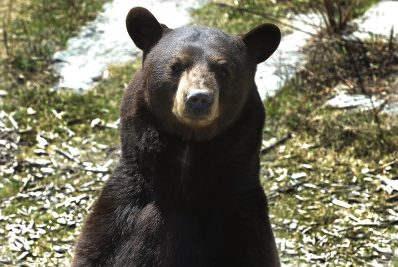 In this April 2009 file photo, a brown bear looks around at the Maine Wildlife Park in Gray. A coalition that wants another statewide vote aimed at banning the use of bait, traps and dogs to hunt bears is launching a petition drive in Maine.
