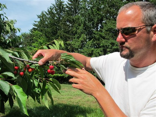 Patrick McGuire of Atwood, Mich., examines sweet cherries growing in his orchard recently. McGuire says a labor shortage caused by the immigration controversy is making it difficult for him and other Michigan fruit growers to harvest their crops.