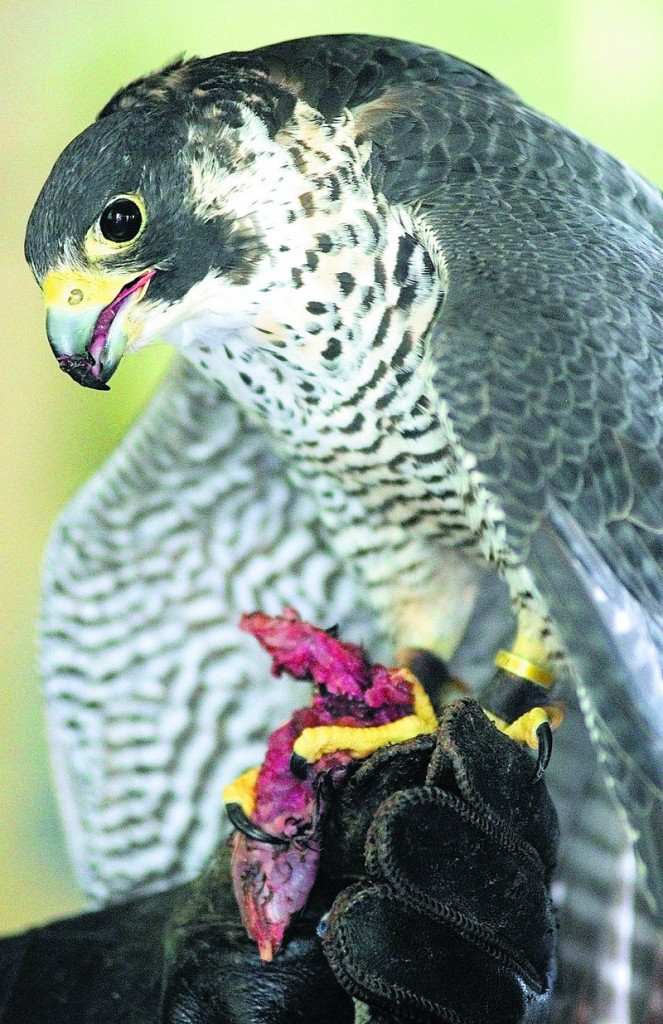 A Peale's peregrine falcon, eats a piece of quail at the start of Larry Barnes' presentation Saturday at the boathouse on Swan Island.