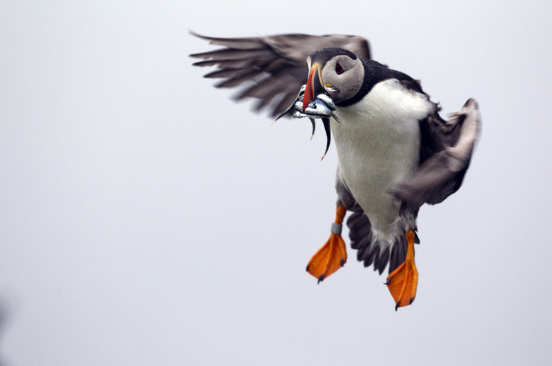 A puffin prepares to land with a bill full of fish on Eastern Egg Rock off the Maine coast. Last year, young puffins died at an alarming rate from starvation because of a shortage of herring.
