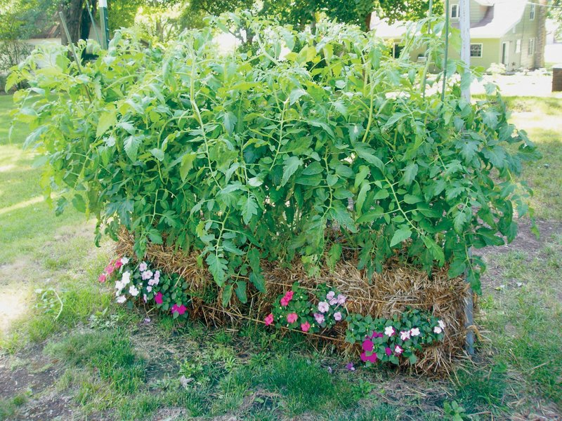 Tomatoes grow in a series of straw bales tied together. Among the advantages of straw bale gardening are back-friendly planting and convenient harvesting.