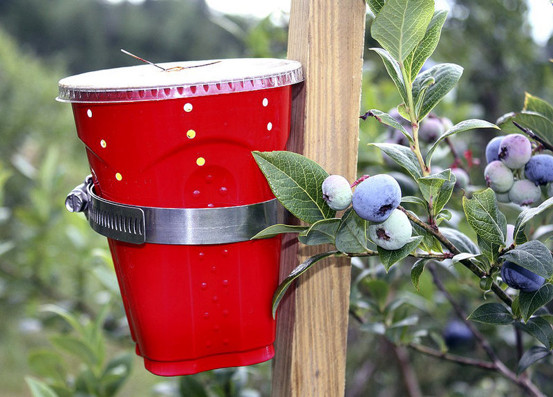 A flytrap is attached to a stake placed near ripening blueberries. Maine's wild blueberry growers are monitoring their fields for a harmful new fruit fly called the spotted-wing drosophila, which poses a threat to the state's crop.