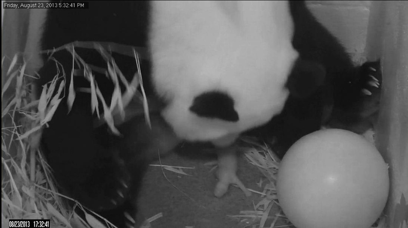 Mei Xiang gives birth to a cub two hours after her water broke Friday at the National Zoo in Washington.